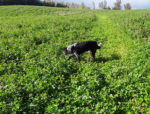 Don Ready clover cover crop