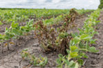 dicamba effects