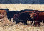 Fuller_cattle.jpg