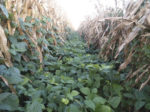 corn interseeded with cover crop