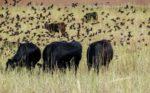 Dennis-Hoyles-cattle.jpg