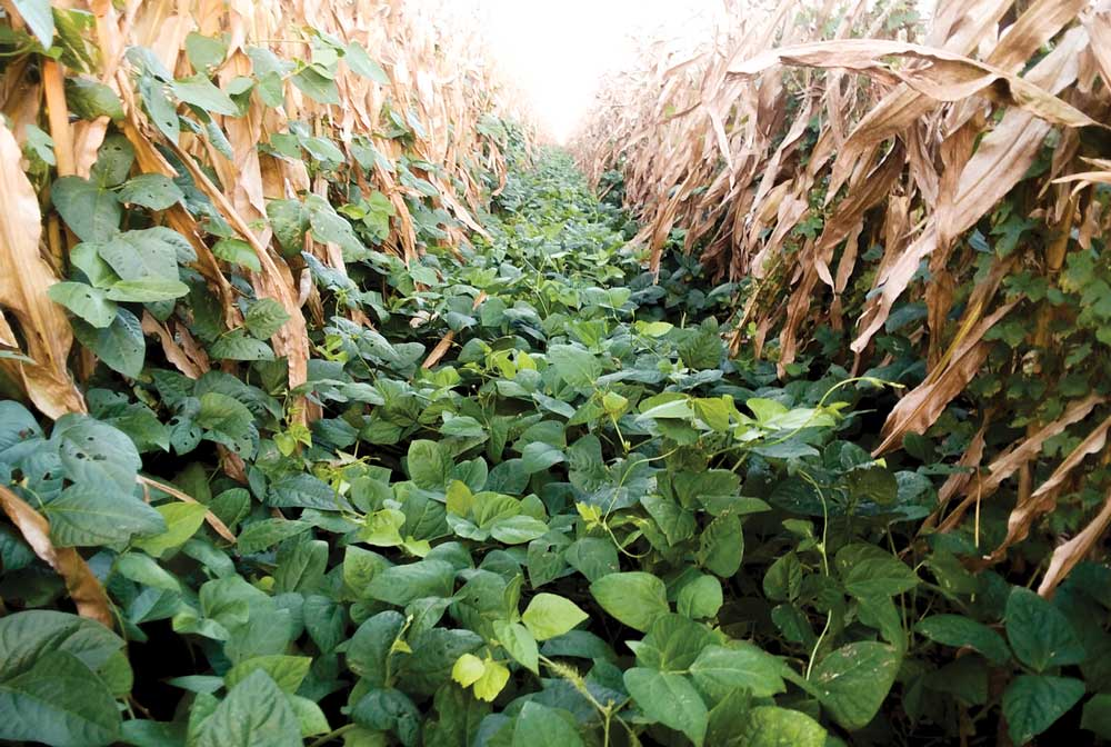 Cover Crops with Other Plants