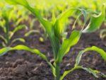Ohio State Soil health project corn