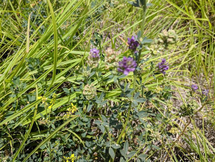 alfalfa grass Lindsey Slaughter