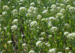 pennycress in bloom