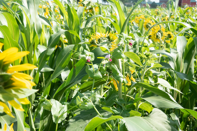 cover crop mix