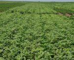herbicide resistant waterhemp