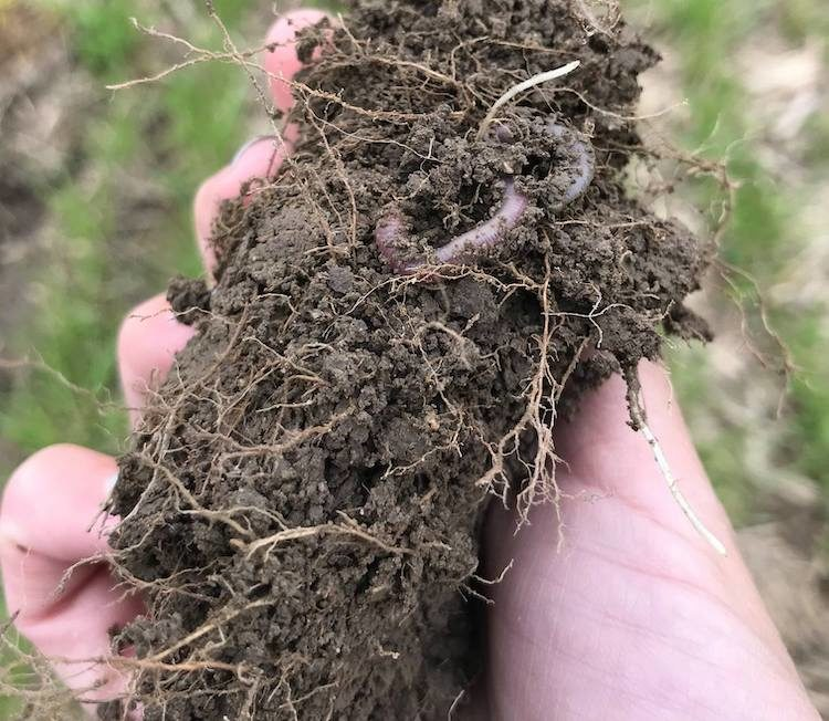 Chris Pollack cover crop roots