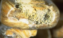 Aspergillus ear and kernel rot of corn