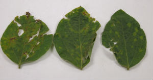 Bacterial blight in soybeans