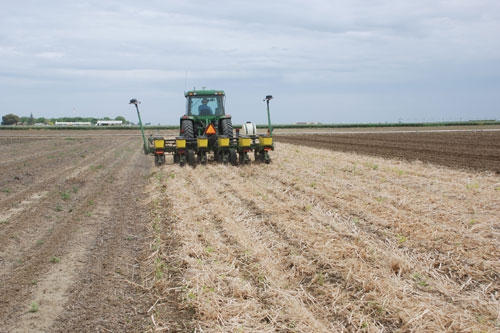 Planting no-till tomatoes into cotton residue