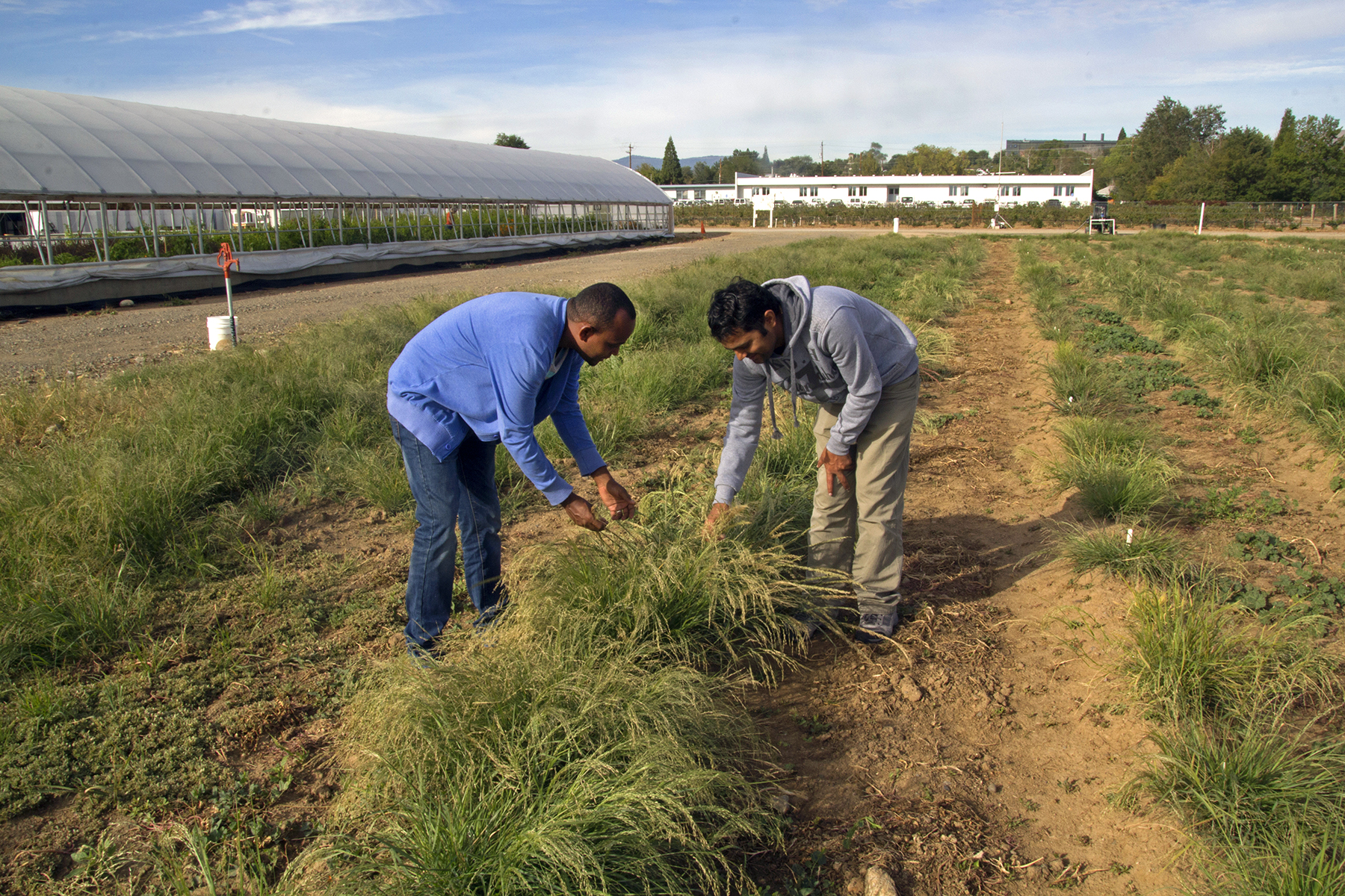 The Summit Reno >> Researchers Looking to Improve Teff Grain Production | No-Till Farmer