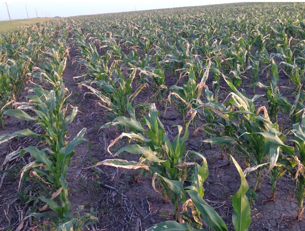 crop disease or injury  how to tell the two apart