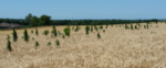 Marestail-Figure-1.png