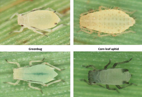Aphid-Figure-2.png