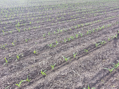 Emerged corn near Lincoln in late May