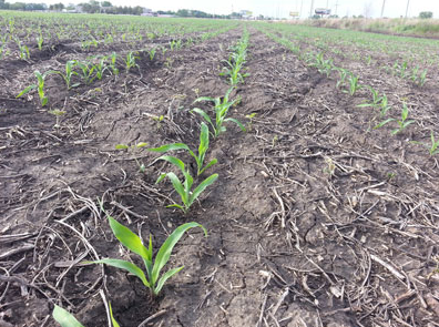Figure 2. Corn at this stage has a limited exposed leaf area and the growing point will remain underground for the next few days or until reaching the V6 growth stage. (Photo by Rachana Jhala)