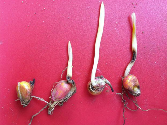 Fertilizer burn on roots and mesocotyls