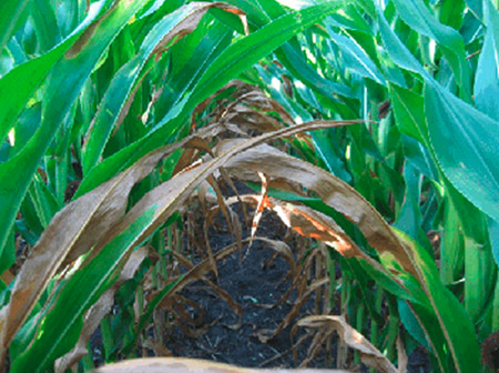 Leaf loss in stressed corn
