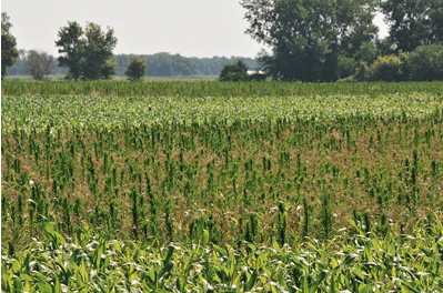 marestail competition in a corn field