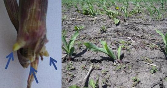 "Nodal root tips that have dried out from coming into contact with dry, hot or hard soils don't continue to grow, and weak nodal root support leads to ""floppy corn"" (right)."