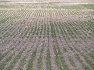 Poor wheat stands in 2010