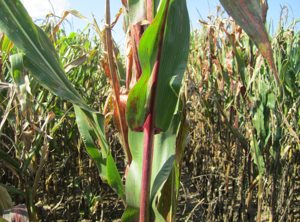 red leaves in corn are a sign of trouble
