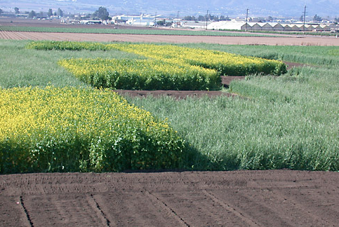 A field test site in Salinas, California, showing a checkerboard of different cover crop treatments being tested, including mustard (yellow flowers), rye, and fallow.