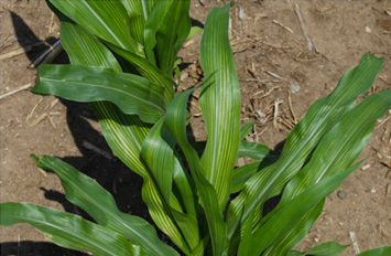 Yellow striping like this on corn leaves on plants in these trials indicates sulfur deficiency.
