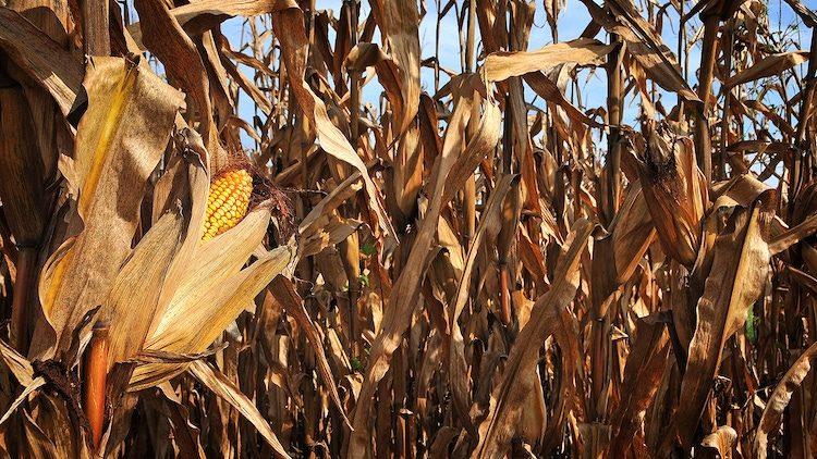 corn yield study NCSU