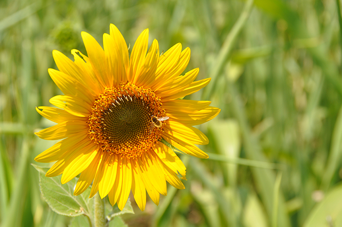 Sunflower-with-bee.jpg
