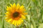 Sunflower-with-bee.jpg