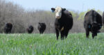 cattle-grazing-rye-cover-crop-2.jpg