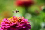 hover fly flower