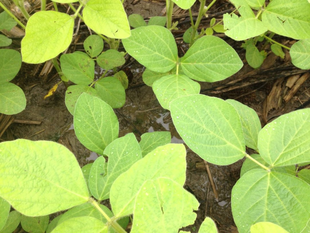 Yellow Soybeans_News_071515