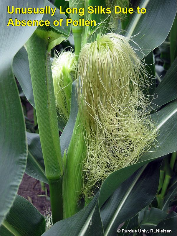 Unusually Long Silks in Corn   2015-07-17   No-Till Farmer