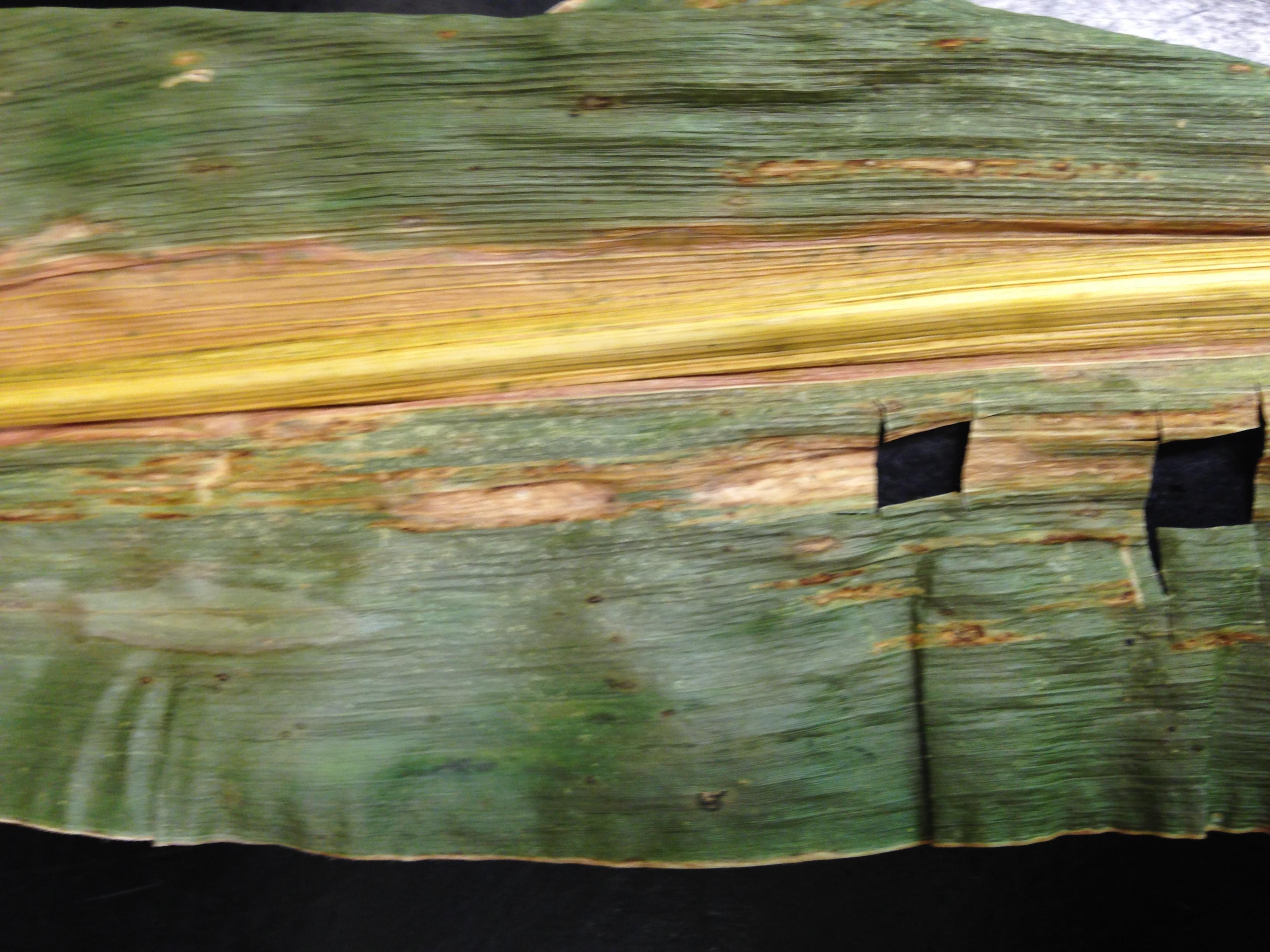 bacterial stripe