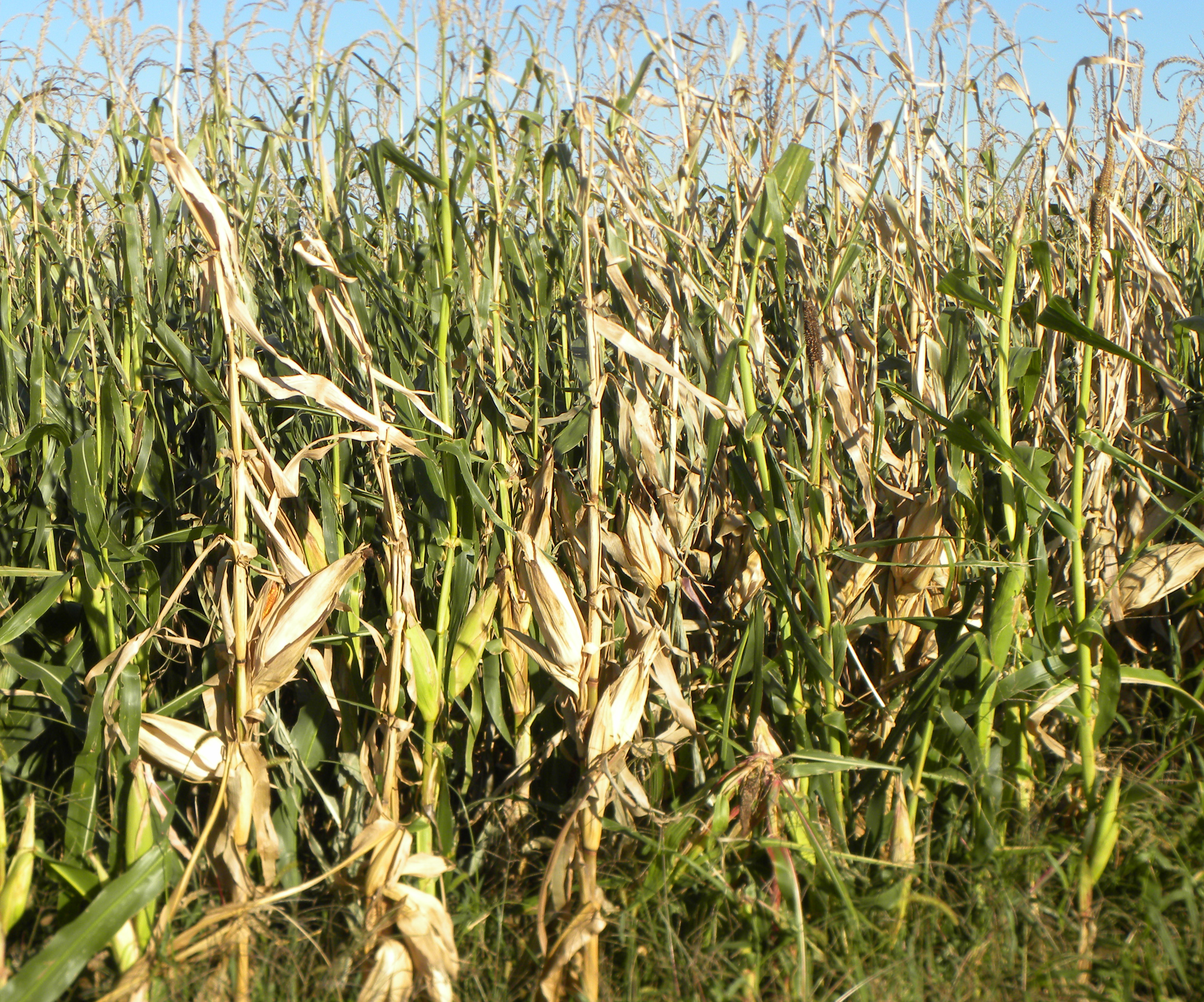 Stalk and Ear Rot Diseases Developing Early | 2015-08-31 ...