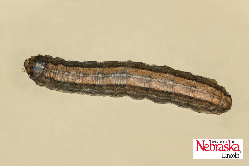 Claybacked cutworm