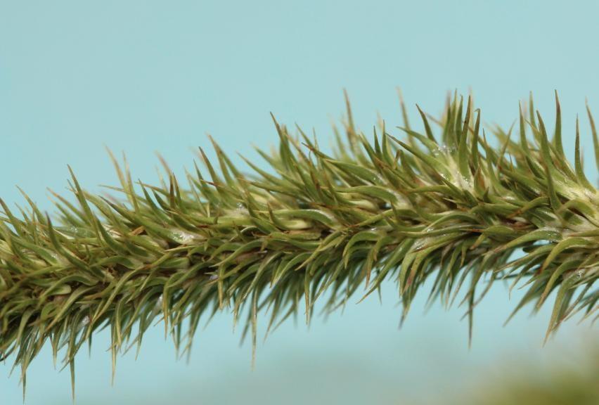 palmer amaranth