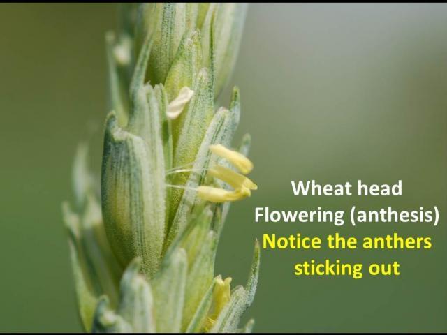 wheat flowering