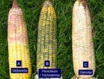 corn ear rots