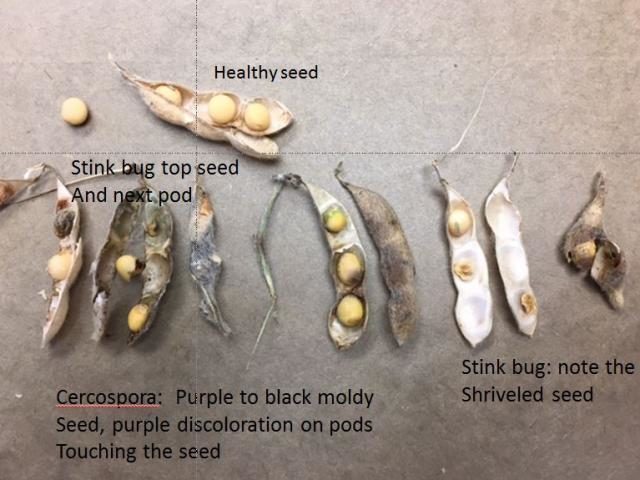 soybean seed damage