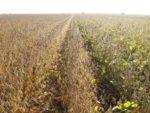 soybean maturity