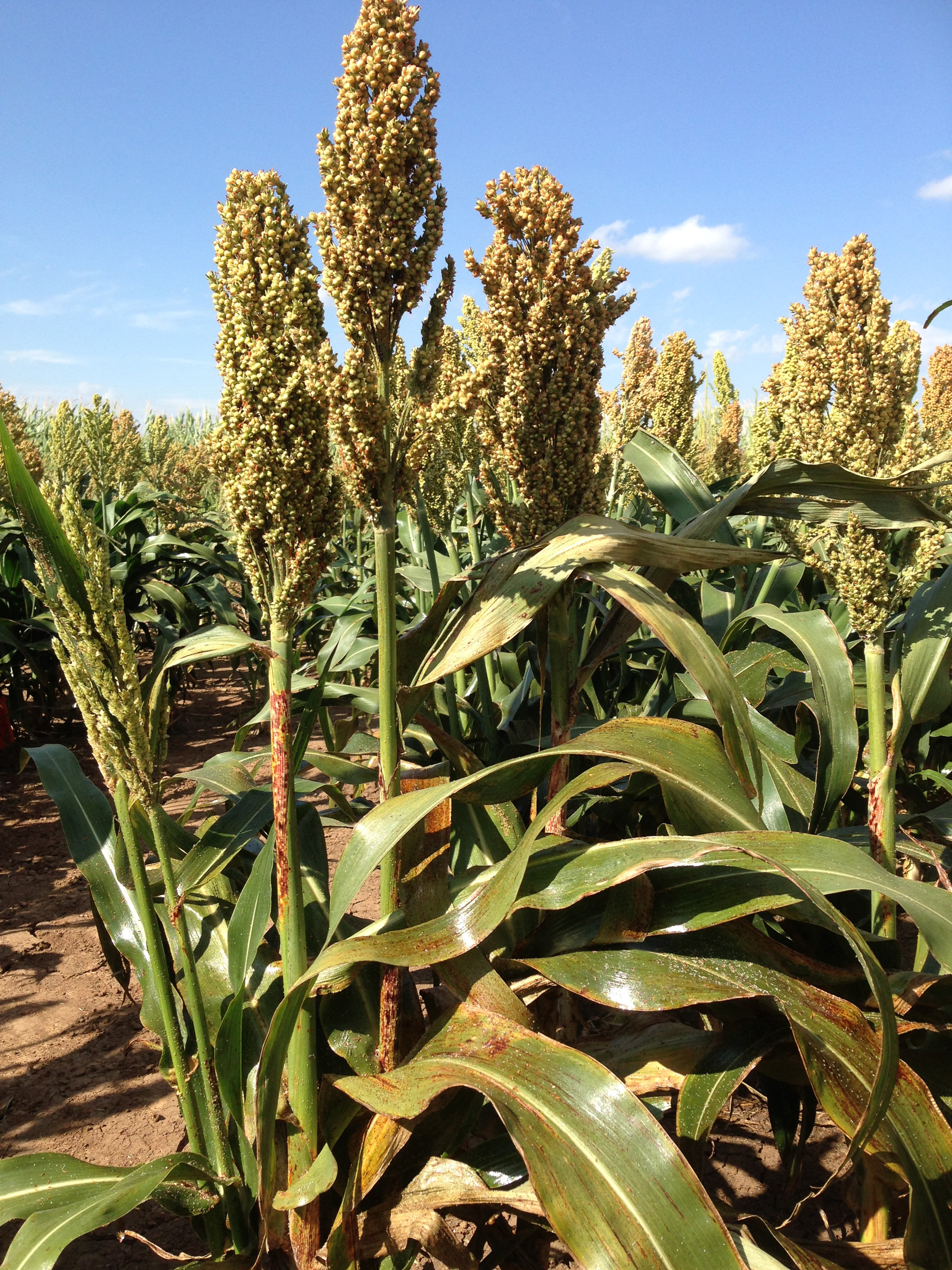 Late-planted sorghum