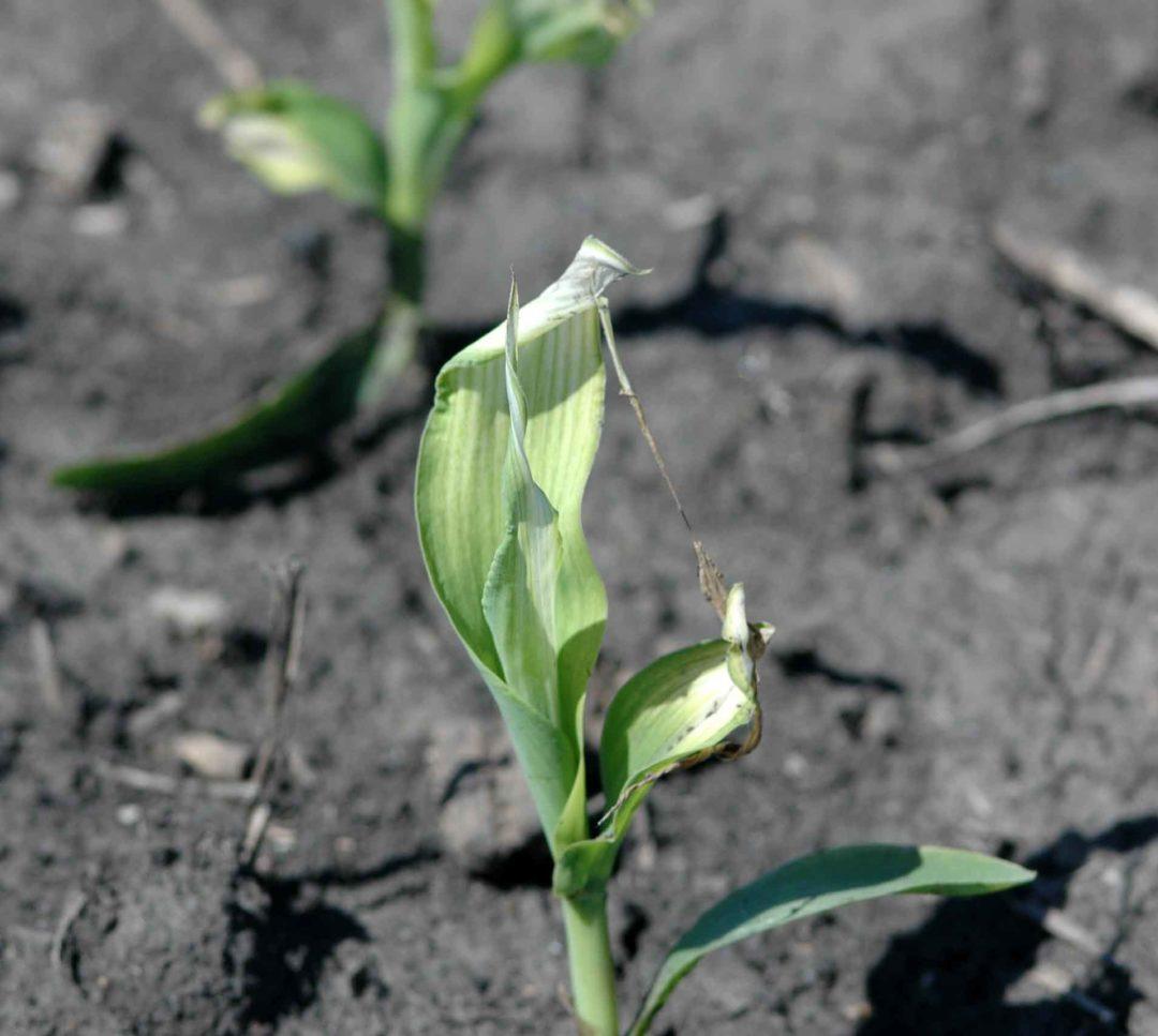 corn injury