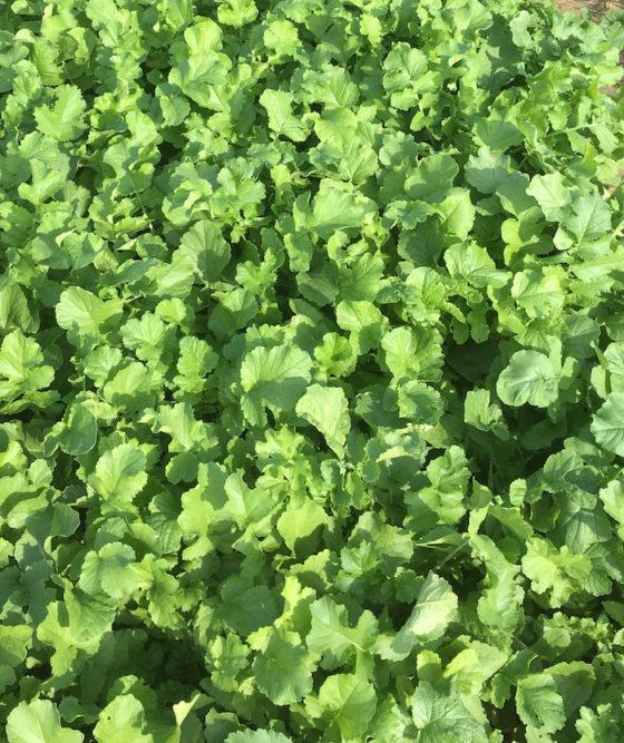 smith seeds CCS779Radish_0617 copy