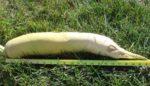 Forage Seeds.com Nitro Radish Seed copy