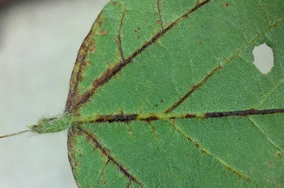 Soybean vein necrosis