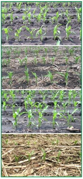 Figure 3. This figure shows corn plant height vari - ability in different rotation-tillage systems. (From top) Corn-soybean, plow; corn-soybean, no-till; continuous corn, plow; and continuous corn, no-till.